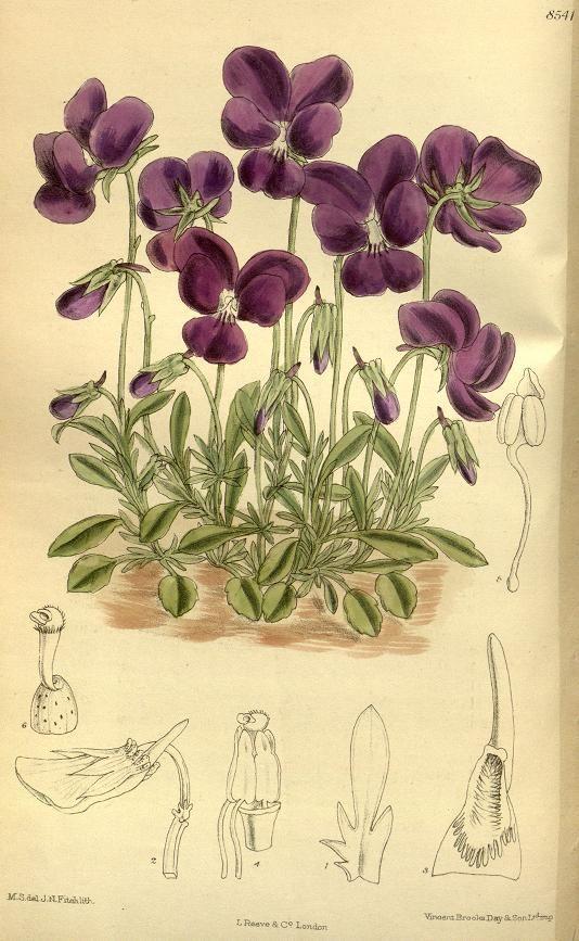 """""""Viola gracilis"""" violets, botanical, 1914."""