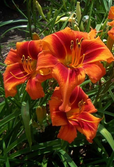 """WALTER'S TANGO  (Marx-Hensley) 2007 (Unk) 38"""" M DOR 3.75"""" UFO DIPLOID  This bright, spidery orange crispate has a bold red eye and small yellow-green throat. WALTER'S TANGO was hybridized by Walter Marx during the 1950s, but was not registered. It remained in relative obscurity for nearly 50 years. Worthy of introduction even in today's marketplace, it was registered by Dale Hensley in 2007. It has four to five-way branching with 22 or more buds. Fertile both ways and a real gem in the…"""