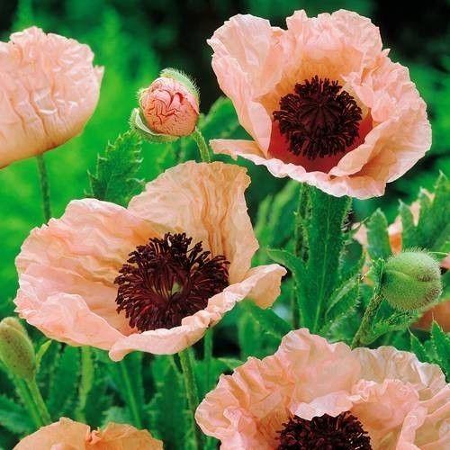 Mohnblume Pinnacle Pink Mohnblume Organischer Dunger Pflanzen