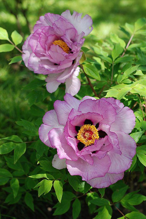 Gartenkunst oder Wege nach Eden: Päonia rockii - zarte Blüten, robuste Pflanzen