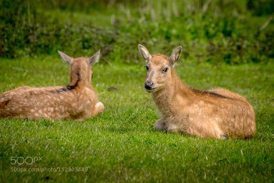 young Père David's deers by peter19631 #animals #animal #pet #pets #animales #animallovers #photooftheday #amazing #picoftheday