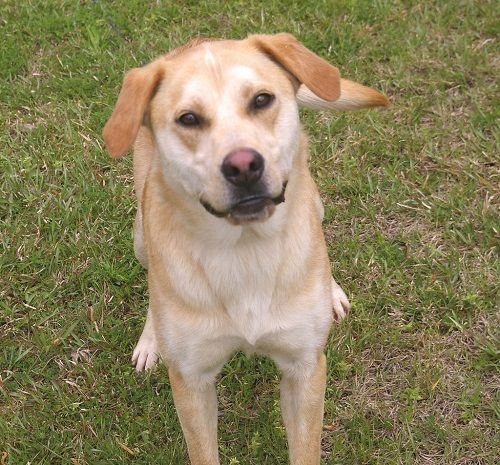 Adopt Hansel 3 On Petfinder Labrador Retriever Yellow Labrador Retriever Help Homeless Pets