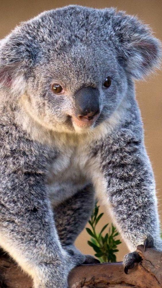 koala, branch, sit, charming
