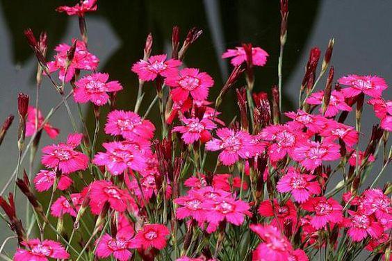Les oeillets delto des sont des plantes vivaces qui aiment le plein soleil et les sols de tous - Plante qui aime le soleil ...