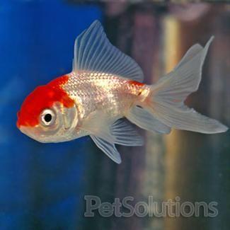 Red white oranda goldfish scientific name carassius sp for Scientific name of fish