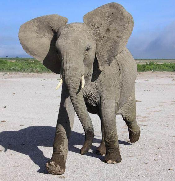 Smart Elephant Animal Picture