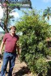Campomanesia sp. nv. / super-guabiroba-gigante :: e-jardim  Nativa da M. Atlântica do Sudeste