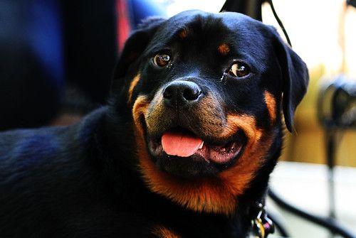 Top 10 Bravest Dog Breeds Dog Breeds Dogs Rottweiler Puppies