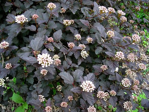 physocarpus opulifolius diabolo ninebark 6 x 5. Black Bedroom Furniture Sets. Home Design Ideas