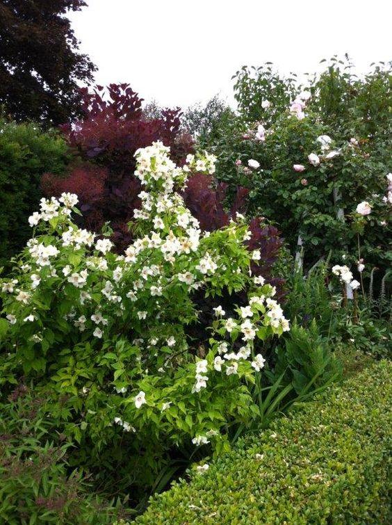 summer flowering shrubs- Philadelphus