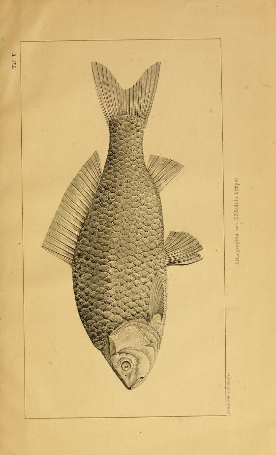 Versuch einer Monographie der Cyprinoiden livlands : - Biodiversity Heritage Library
