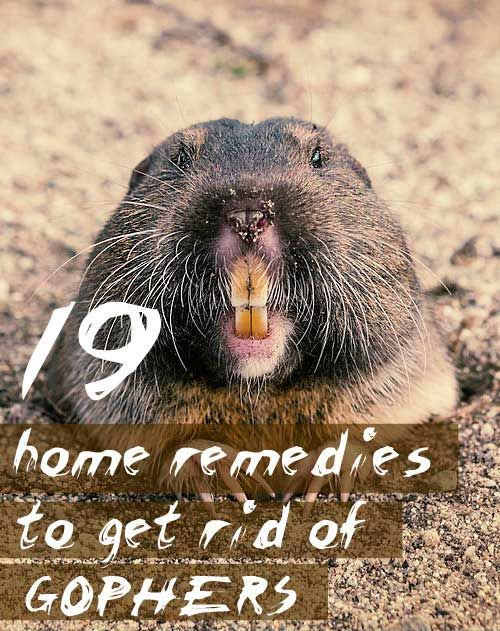 get rid of gophers and use these home remedies to drive gophers out