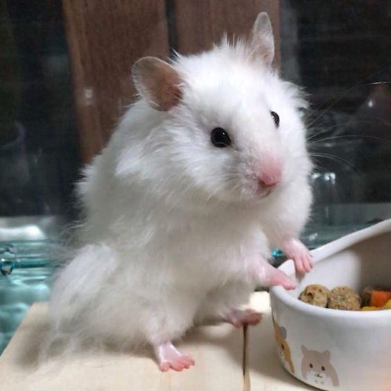 ラテ ビフォーアフター どんだけー 笑 モカに元気玉たくさんありがとうございますお薬も頑張って飲んでます次の通院まで頑張ります 今週も皆様にとって素敵な毎日となりますように 今週もよろしくお願いします いつも見て下さりありがとうございます Hamster Cute