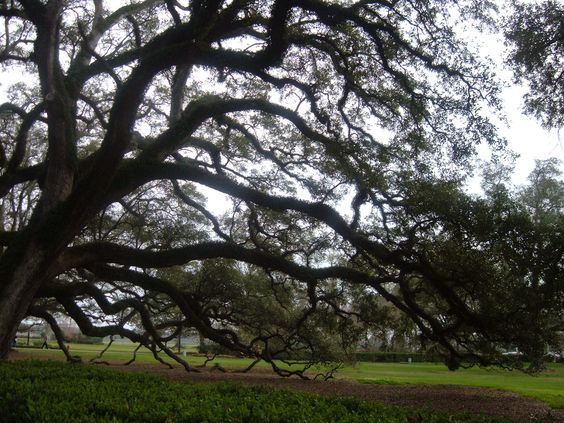 Haunting, aged oak with stories to tell (Oak Alley Plantation; Vacherie, Louisiana) (c) Patty Lee: Alley Plantation, Favorite Places, Tree, Enchanting City, Alley Louisiana, Travel Louisiana Usa, Haunting Aged