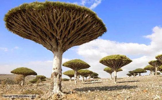 Isla Socotra  Esta isla en Yemen es el hogar de algunas de las plantas más raras en la Tierra. Casi un tercio de la vegetación única de esta tranquila isla SÓLO se puede encontrar aquí! Verdaderamente notable.
