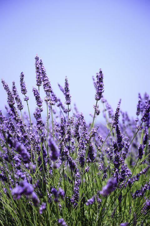 The Surprising Meanings Behind Your Favorite Flowers Lavender Garden Lavender Plant Plants