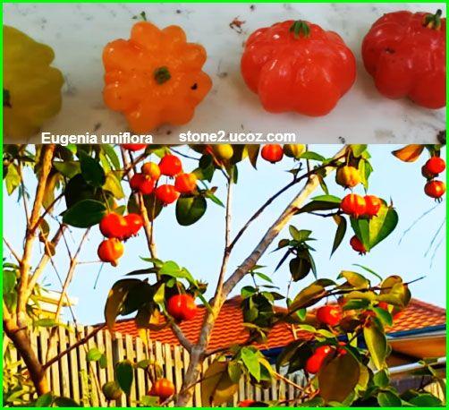 انواع القرنفول او يوجينة احادية الزهرة Eugenia قائمة الفواكهة النبات معلومات نباتية وسمكية معلوماتية Stuffed Peppers Vegetables Food