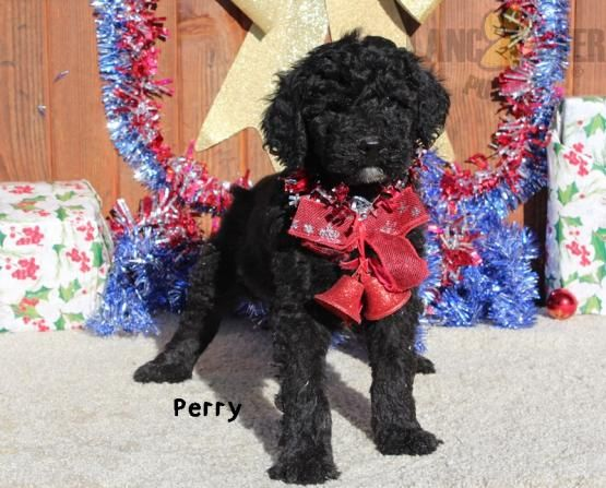 Perry Poodles Standard Puppy For Sale In Fredericktown Oh