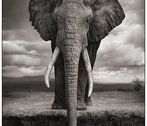 Elephant in #Africa