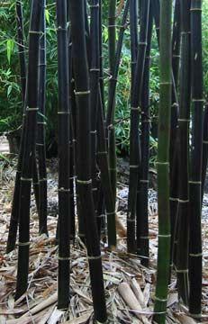Bamboo - Timor Black.  Grows to 15 metres.