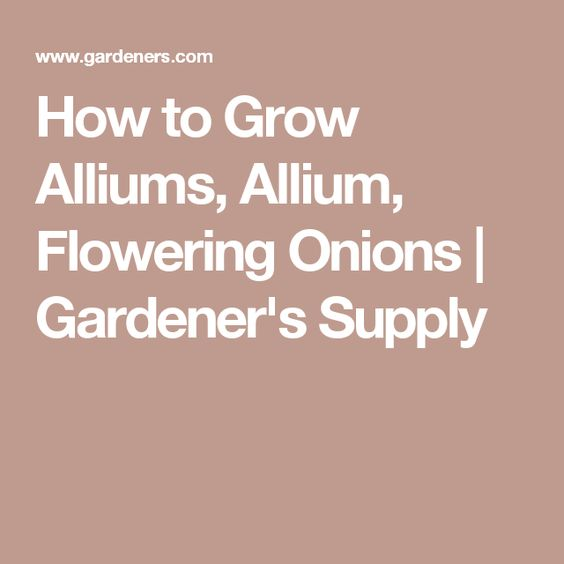 How to Grow Alliums, Allium, Flowering Onions   Gardener's Supply
