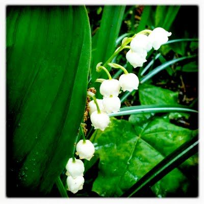 lily-of-the-valley ♥