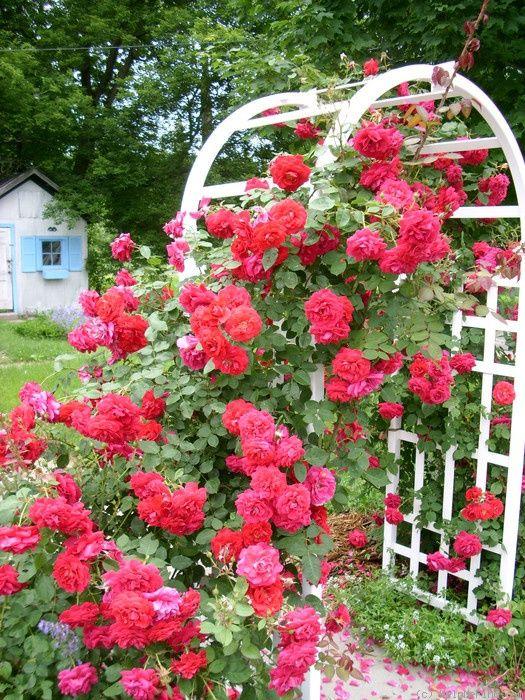 Ramblin Red Rose Photo Climbing Roses Rose Photos Red Roses
