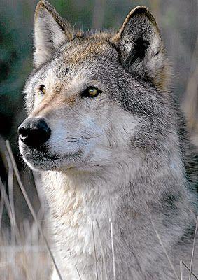 Entre brétemas.: El Lobo