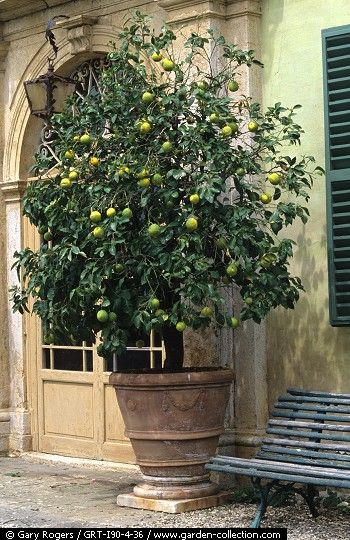 A Beautiful Lime Citrus Tree. * Container Gardens * As The Seasons Pass So Does The Way I ...