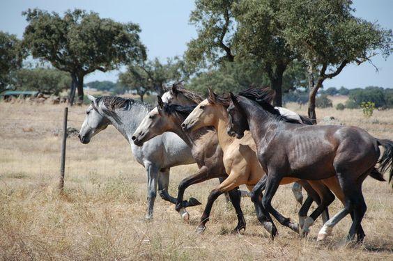 Monte da Tramagueira foals in the field luisitanos