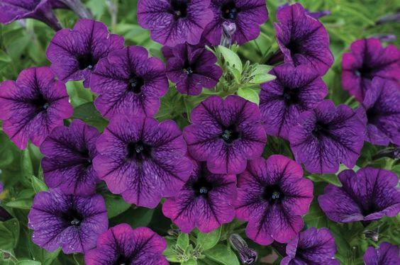 1245272995petunia Littletunia_Ultra_Purple.jpg (800×531)
