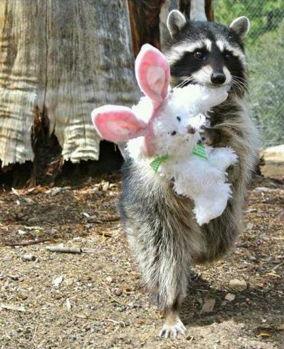#SharpSchu Feel like I need 2 share ths pic found online AFTER I finished the book. Raccoons really do  toy bunnies! pic.twitter.com/Dudz6Z5bDu