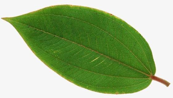 ورق الشجر يترك شريحة واحدة خطوط واضحة Png والمتجهات للتحميل مجانا Plant Leaves Leaves Fashion Sketches Dresses