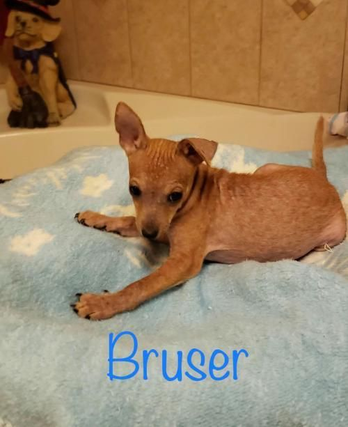 Adopt Bruser On Petfinder Chihuahua Dog Insurance Dogs