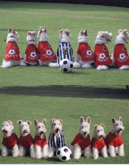 So cruel dressing up dogs but  had to smile at this despite myself. Fox Terriers United!