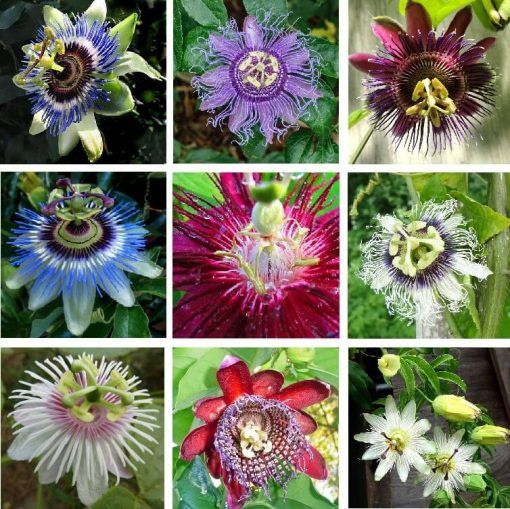 Rare Passion Flower Seeds Passiflora Incarnata 100pcs Bag Passion Fruit Plant Passion Flower Flower Seeds