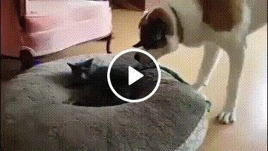 Cachorro se irrita com quem esta na sua cama.