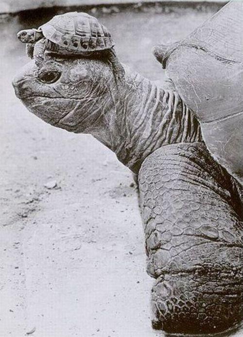 Turtle wearing baby turtle hat