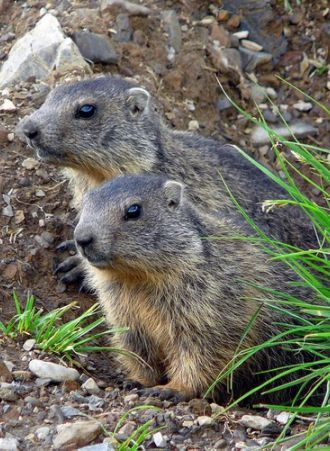 Des #marmottes : l'animal emblématique de la #montagne