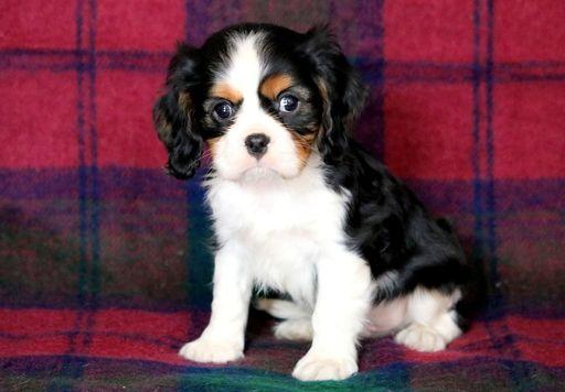 Cavalier King Charles Spaniel Puppy For Sale In Mount Joy Pa Adn