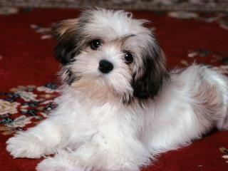 This Man Is Terrified Of Puppies Hunderassen Shih Tzu Hund