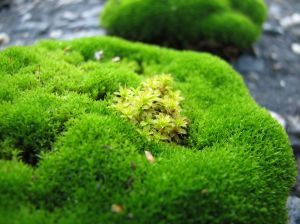 How to create a moss garden. Beautiful photos will capture your imagination and make you want to start your own moss garden.