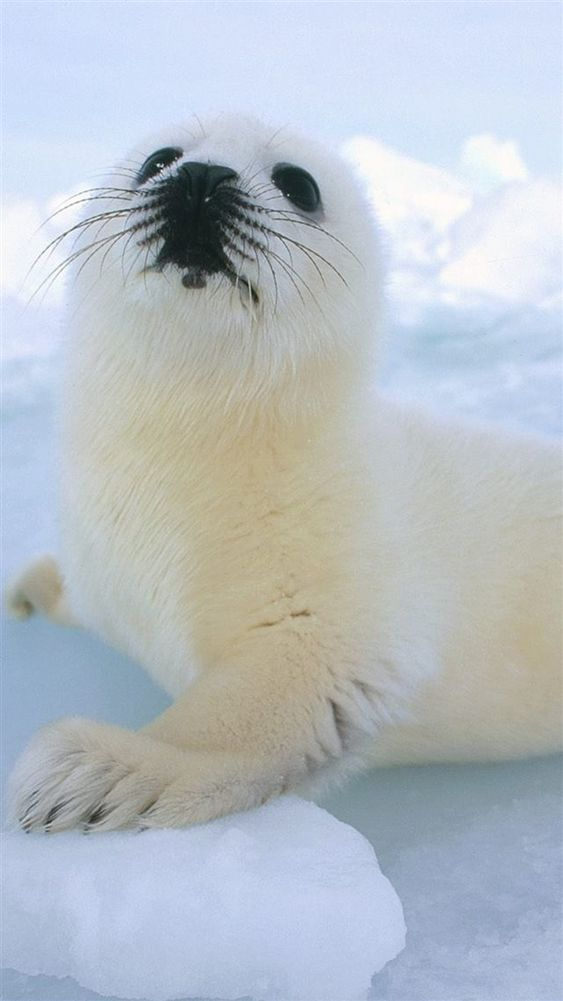 Cute Sea Lion On Icy Block Iphone 8 Wallpaper Download Iphone Wallpapers Ipad Wallpapers One Stop Download Sea Lion Cute Seals Baby Sea Lion