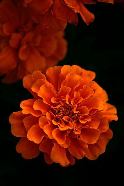 Marigolds - October birth flower-- my next tattoo~ Ellie's birth flower