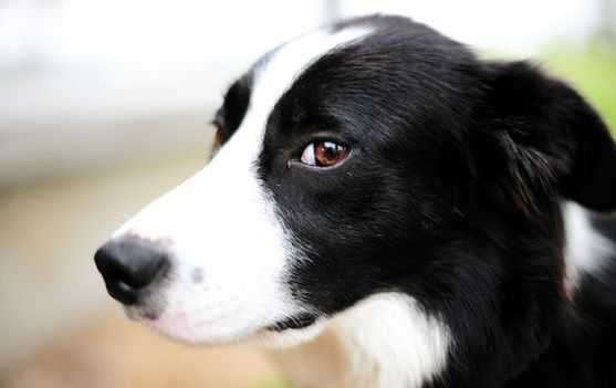 Border Collies Short Hair Border Collies Short Border Collies