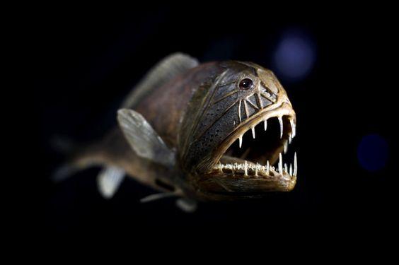 Fangzahnfisch (bei Ausstellung in London): 2012 hatte eine Analyse von...