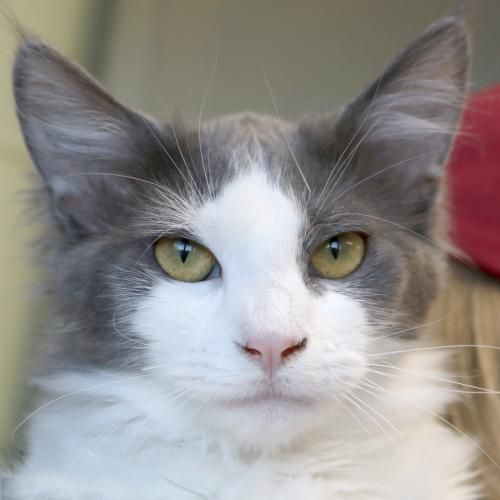 Hi I M Marvin I M A 5 Month Old Neutered Male Gray And White Domestic Medium Hair Grey And White Cat Cute Cats Kittens And Puppies