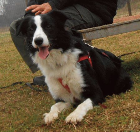 MORTERONE (LECCO): SMARRITO CANE BORDER COLLIE NERO E BIANCO http://terzobinario.blogspot.it/2014/08/morterone-lecco-smarrito-cane-border.html