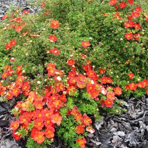 Potentilla Red Robin 1ltr Shrub Plant in Pot