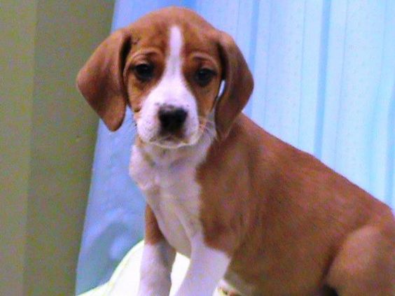Adopt Vinson Fostered In Ct On Adoptable Beagle Beagle Mix
